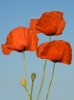 three-poppy-flowers-1382008-s