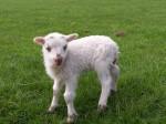 little-lamb-1406384